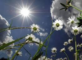 daisys-in-the-sun
