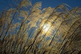 wheat-in-the-sun